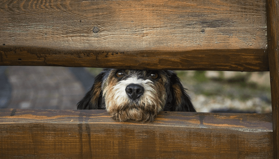 Dog behind a wooden fence