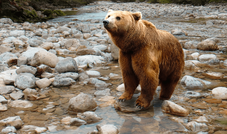 A big grizzly predator bear