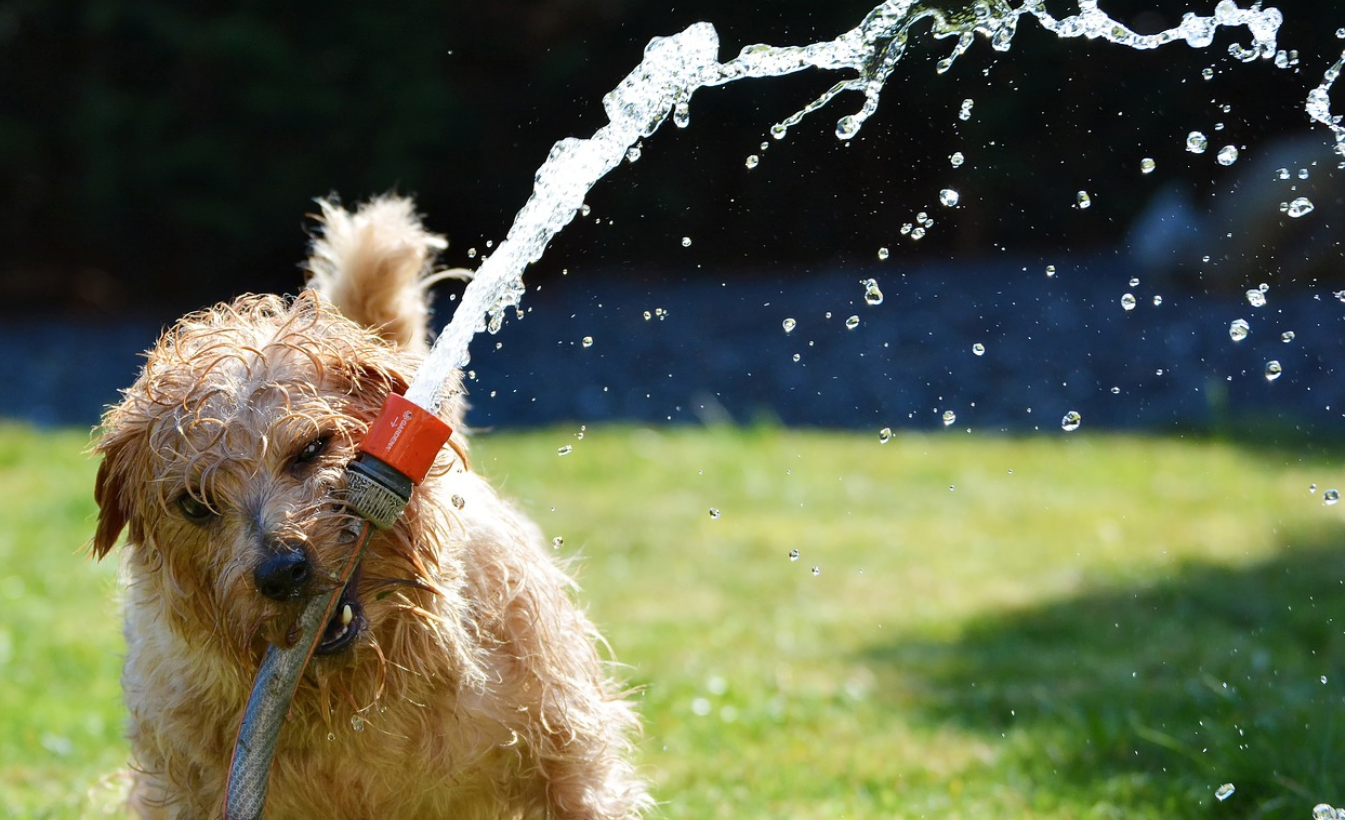 Terrier playing with a sprinkler on the lawn