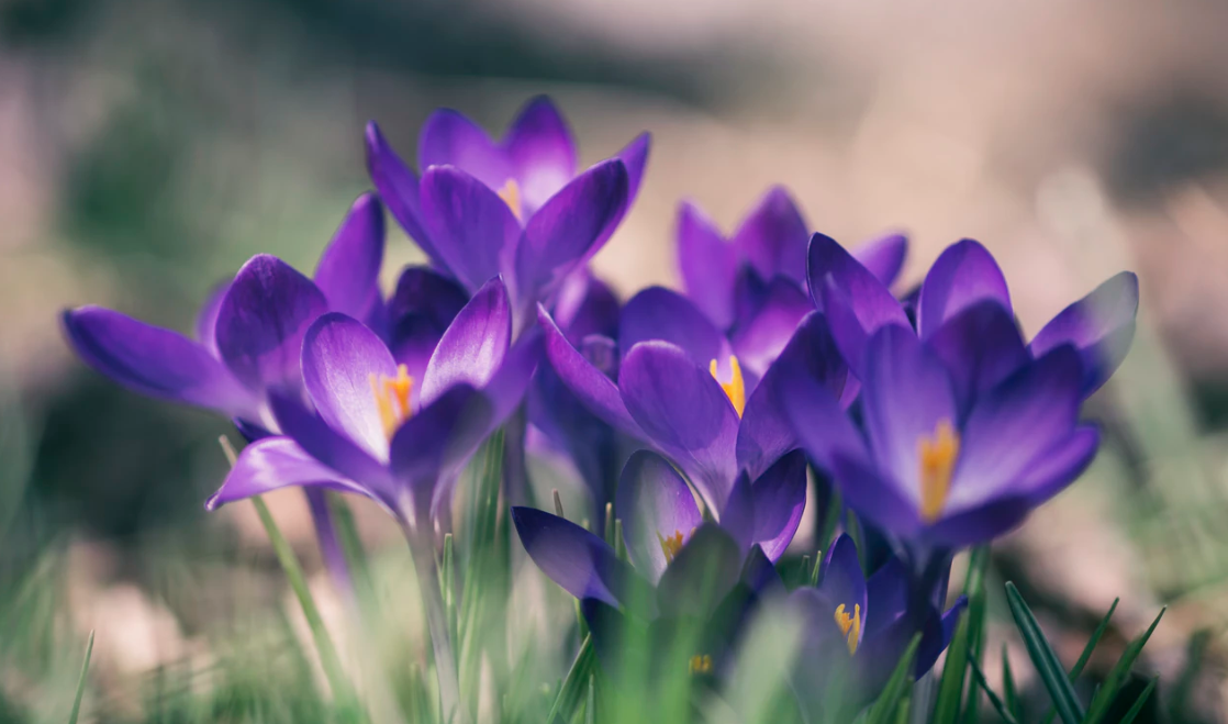 Purple crocuses blooming in the grass
