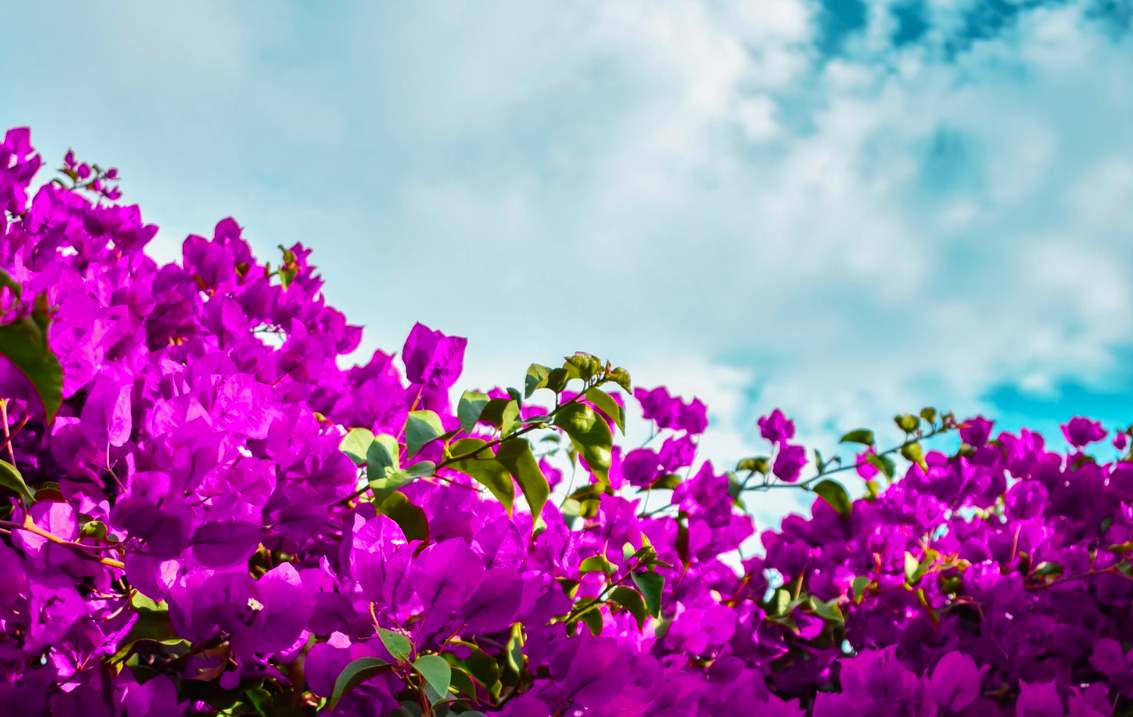 Purple flowers and white clouds