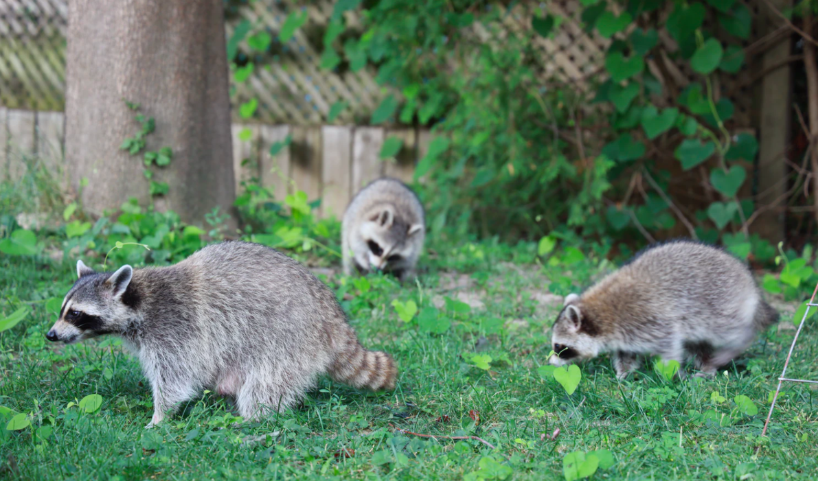 Raccoons on the grass